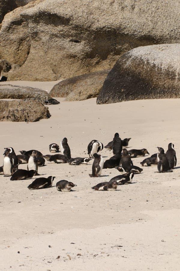 Pinguins e rochas na praia dos pedregulhos fotografia de stock