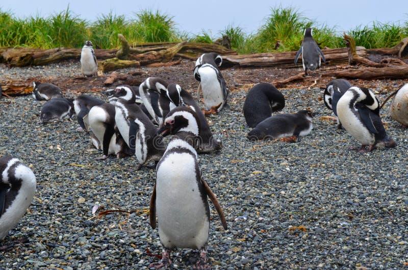 Pinguins, ecoturismo no Patagonia, o Chile fotografia de stock royalty free