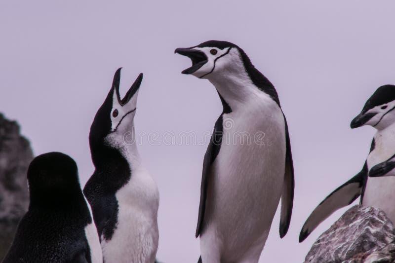 Pinguins em Continente antárctico imagem de stock royalty free
