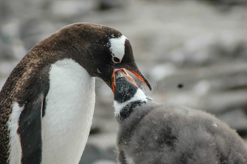 Pinguins em Continente antárctico foto de stock royalty free