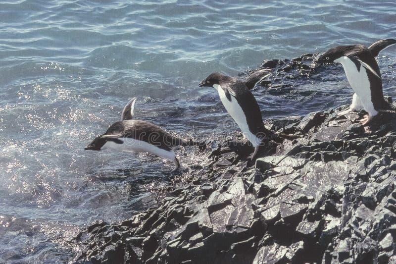 Pinguins em Continente antárctico fotografia de stock royalty free