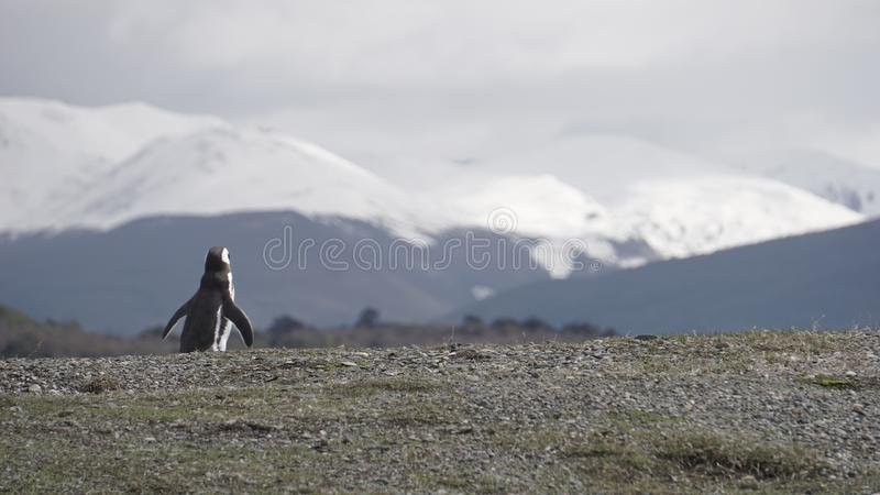 Pinguins em Isla Martillo, Patagonia Tierra del Fuego Argentina de Ushuaia do canal do lebreiro fotos de stock