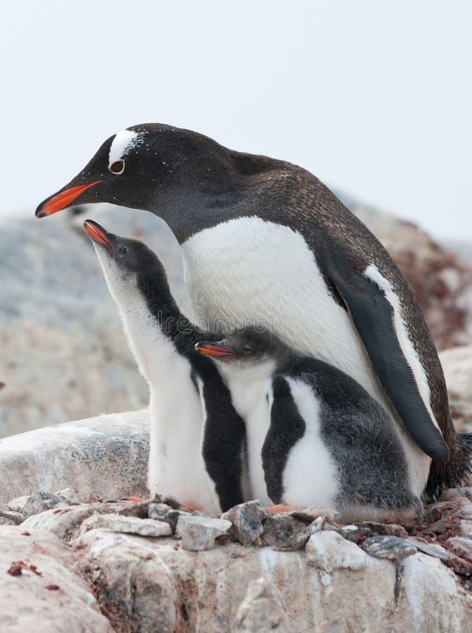 Pinguins fêmeas de Gentoo e dois pintainhos. fotografia de stock