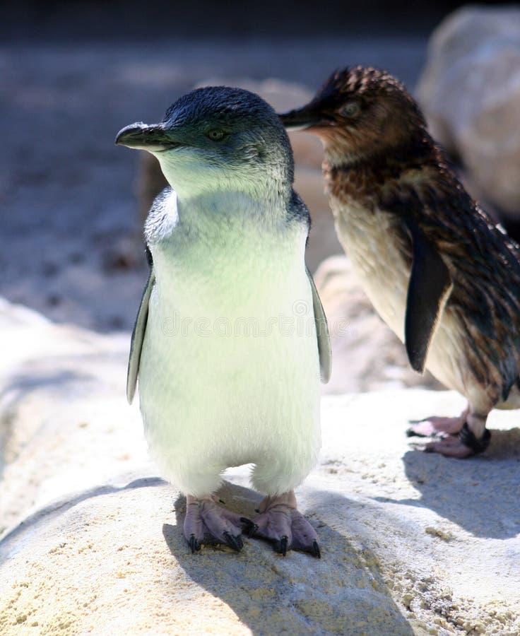Pinguins feericamente fotografia de stock royalty free