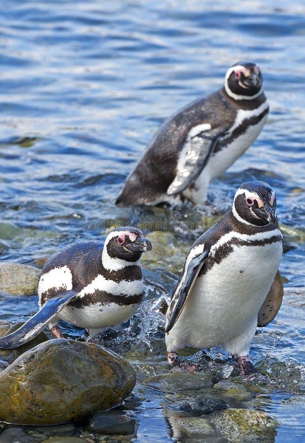 Pinguins, ilha de Magdalena, o Chile imagens de stock