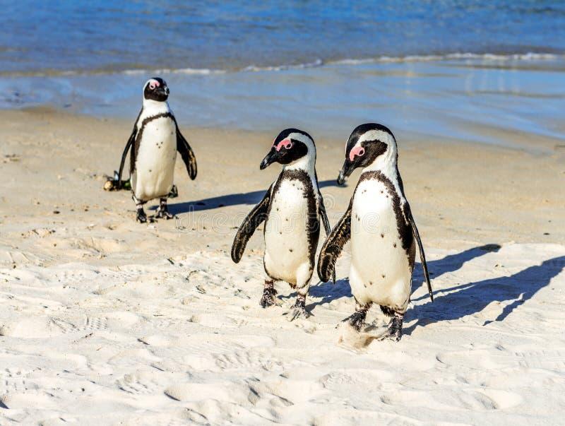 Pinguins junto em uma praia imagens de stock