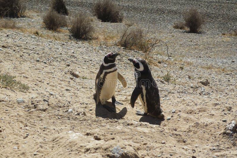 Pinguins na península Valdes fotos de stock royalty free