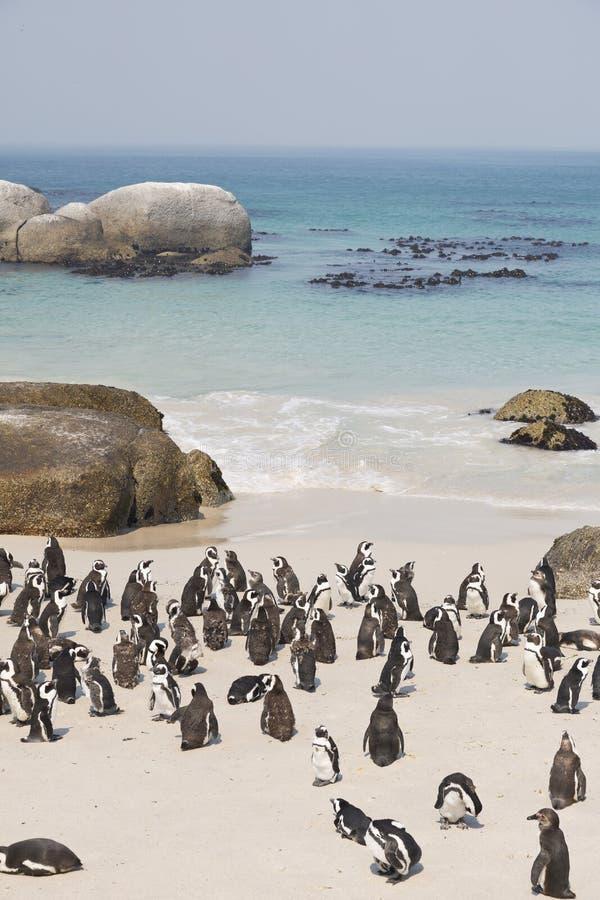 Pinguins na praia África do Sul dos pedregulhos fotografia de stock royalty free
