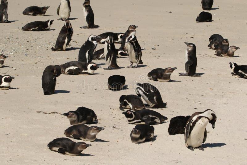 Pinguins na praia de Boulder fotos de stock