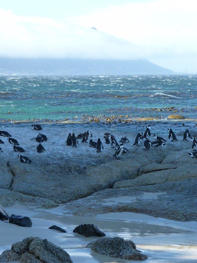 Pinguins na praia do pedregulho fotografia de stock