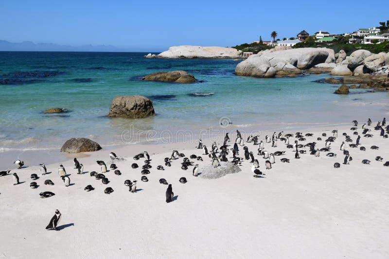 pinguins na praia exótica e bela de Boulders na África do Sul fotografia de stock royalty free