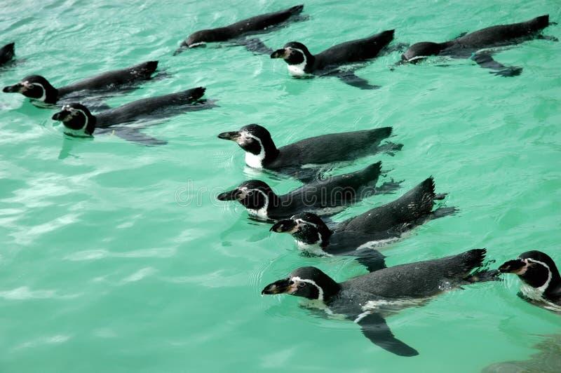 Pinguins que nadam fotos de stock