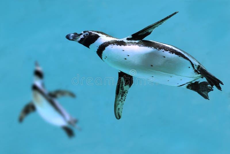 Pinguins sob a água imagens de stock royalty free