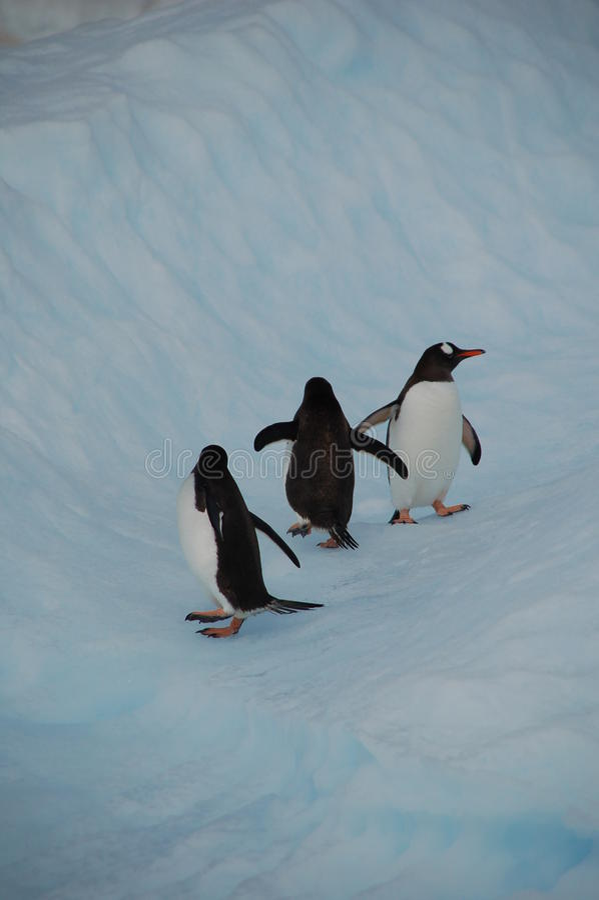 Pinguins In Un Iceberg Immagine Stock Libera da Diritti