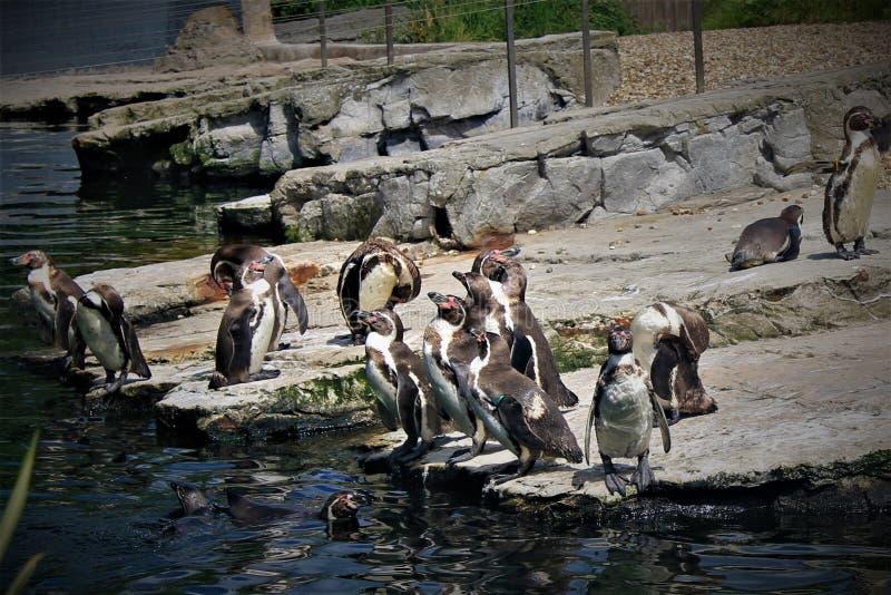 Pinguins w Chester zoo w UK, fotografia stock
