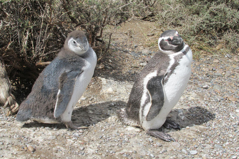 Pinguis Magellan στοκ φωτογραφίες με δικαίωμα ελεύθερης χρήσης