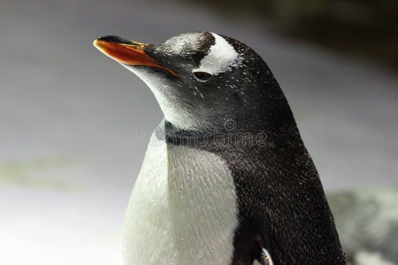 Download Pingvin fotografering för bildbyråer. Bild av föräldrar - 27279607