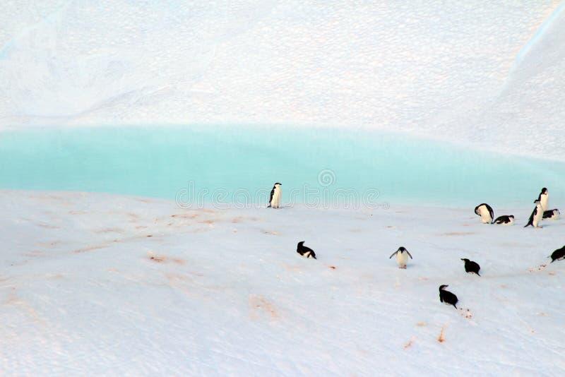 Pingvin i en privat pöl, Antarktis royaltyfria bilder