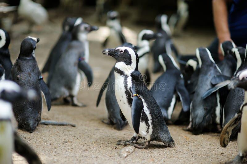 Pingvin i en zoo arkivbild