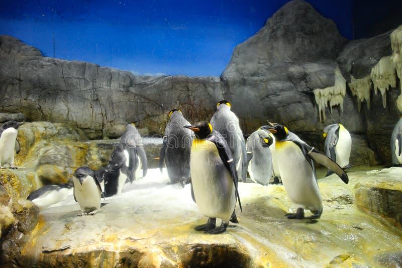 Pingvin fotografering för bildbyråer