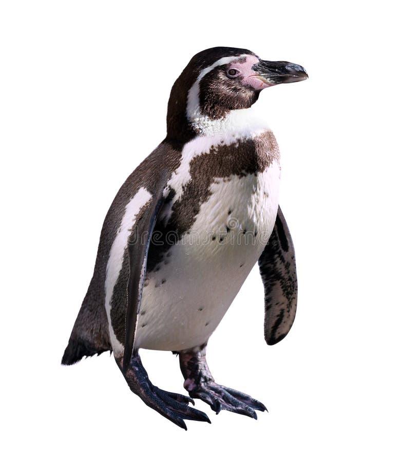 Pingvin. Isolerat på vit arkivfoton