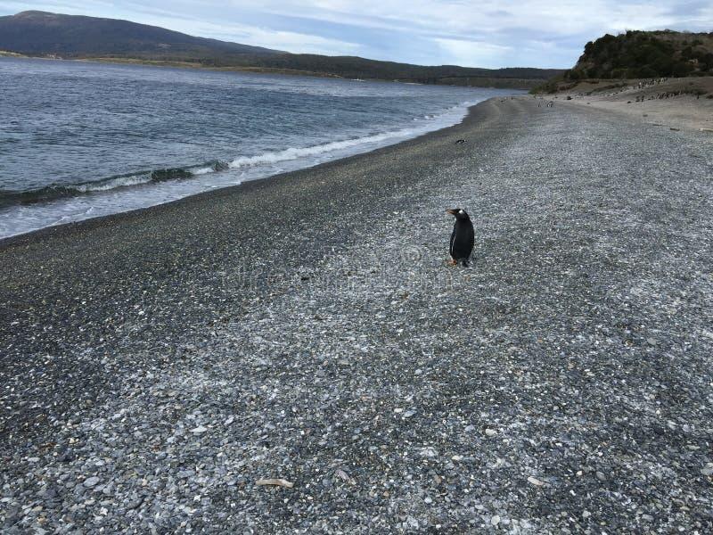 Pingvin på den Martillo ön - vakten royaltyfria foton