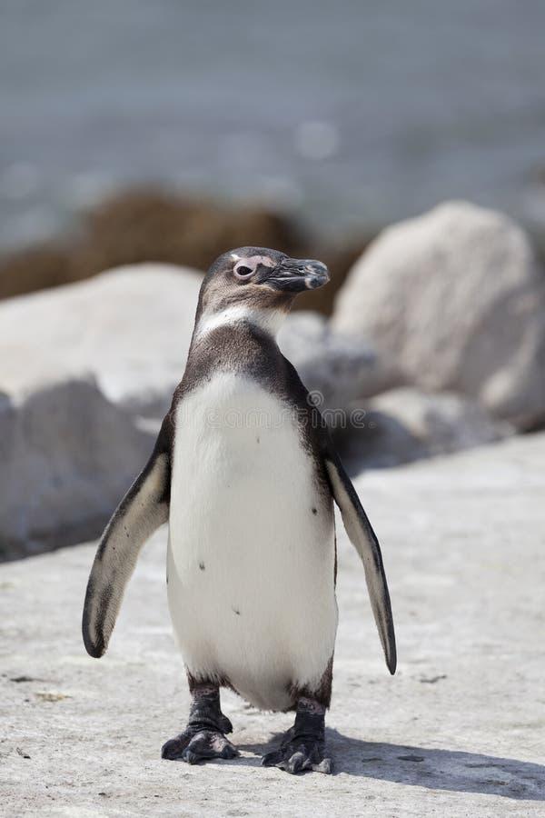 Pingvin på fjärden för Betty ` s i Sydafrika royaltyfria bilder