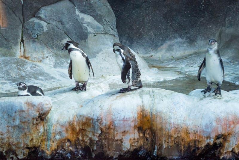 Pingvin på is, grupp av fyra arkivbilder