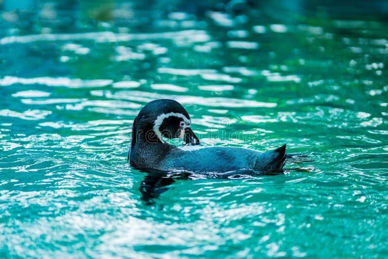 Pingvin simmar och putsar hår i zoo arkivfoton