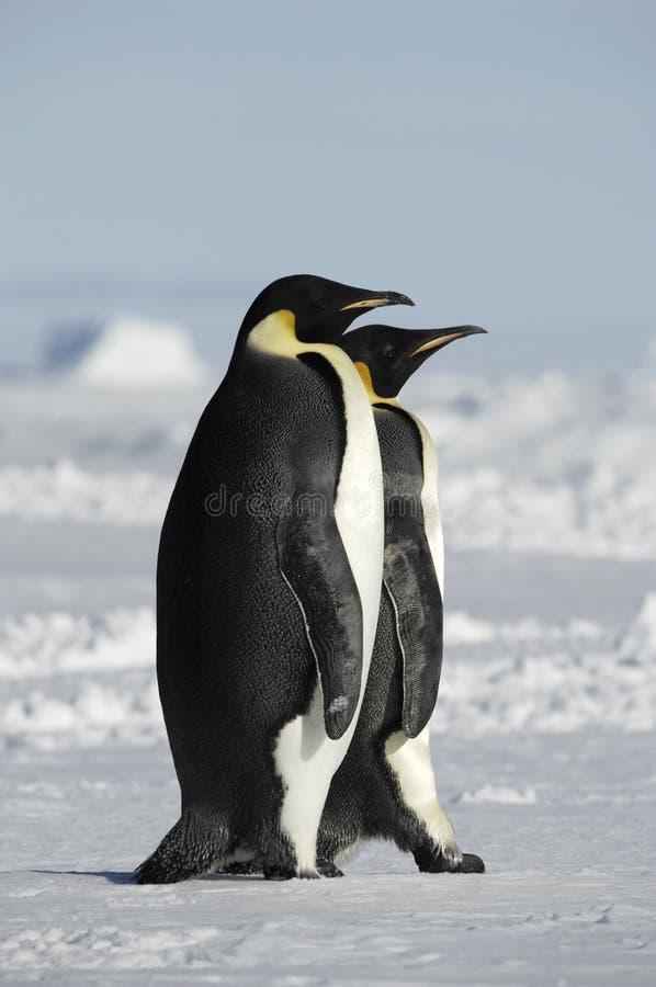 pingvin två royaltyfria bilder