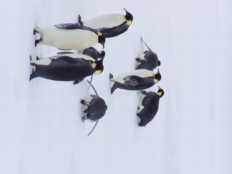 Pingvin XXIII royaltyfri fotografi