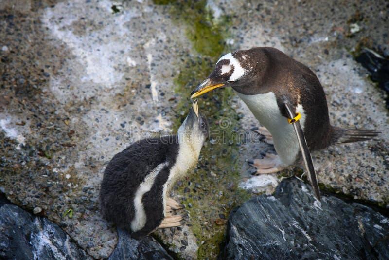 Pingvinet matar ungen fotografering för bildbyråer