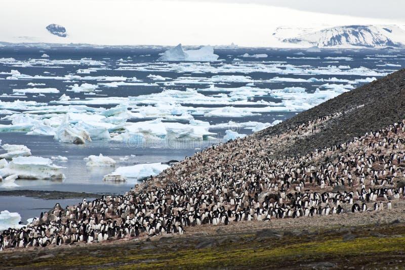 Pingvinkoloni i Antarktis arkivbilder
