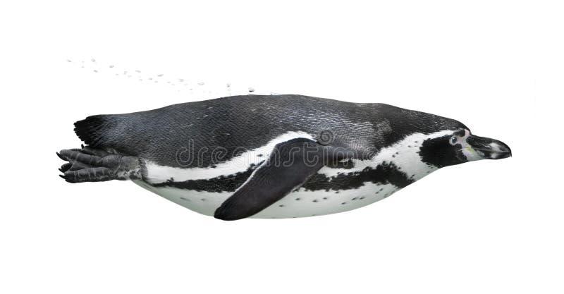 pingvinsimning fotografering för bildbyråer