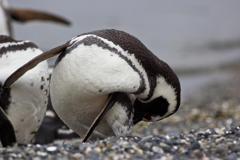 Pingwinów czyści piórka na plaży w arktycznym regionie obrazy royalty free