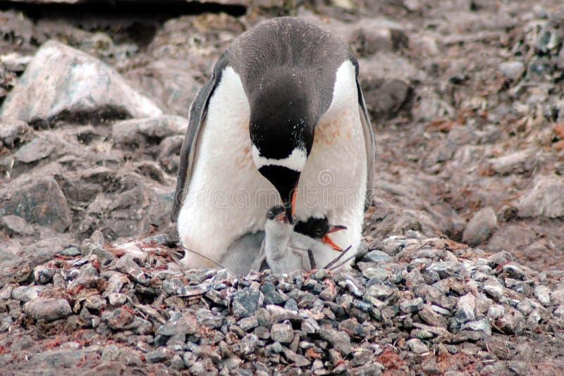 Pingwinów karmiący potomstwa obraz royalty free