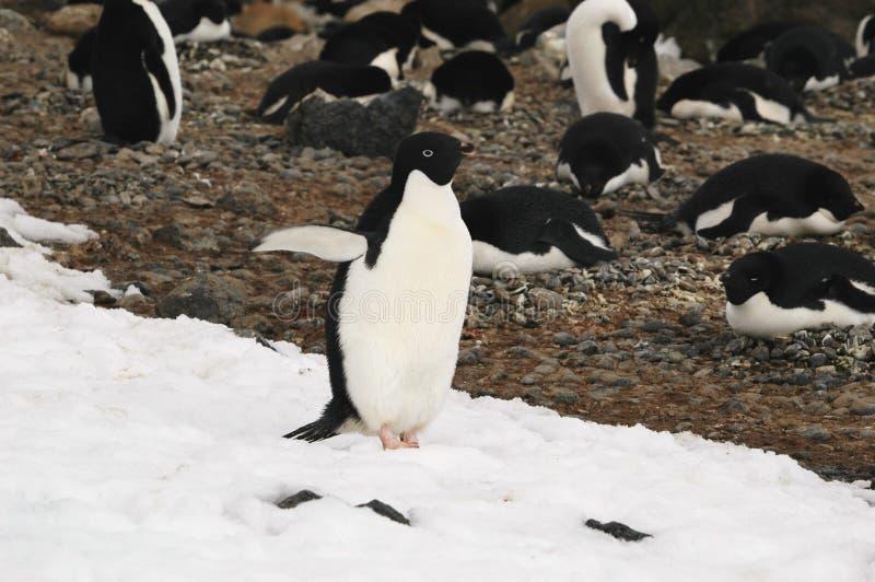 pingwin adelie zdjęcia stock