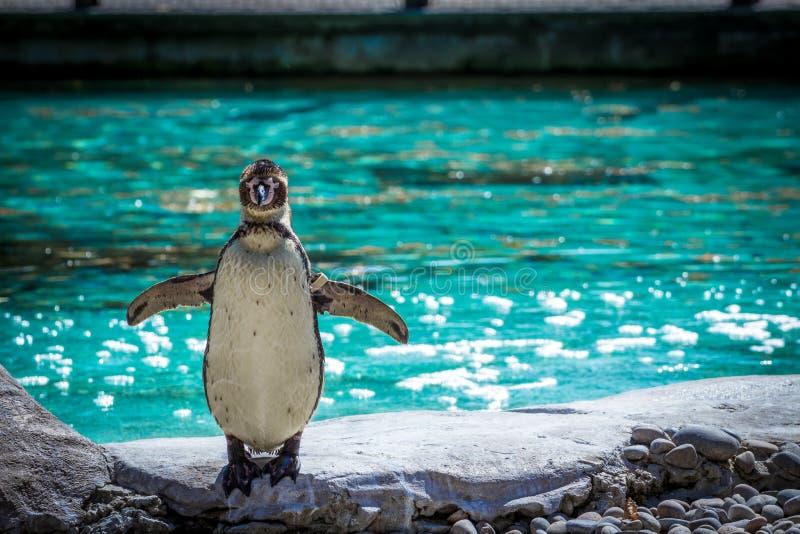 Pingwin Folujący ciało Strzelający przy Londyńskim zoo obrazy stock