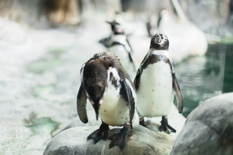 Pingwin gapi się przy kamerą z innymi pingwinami w zoo zdjęcie stock