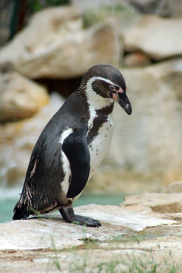 Pingwin Humboldt - Spheniscus humboldti obraz stock