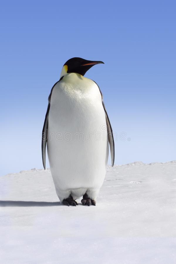pingwin imperatora. zdjęcia stock