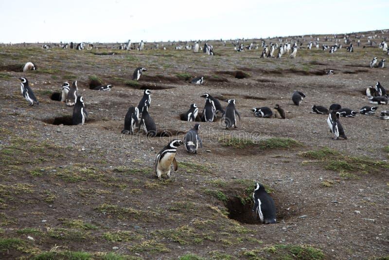Pingwin kolonia obrazy stock