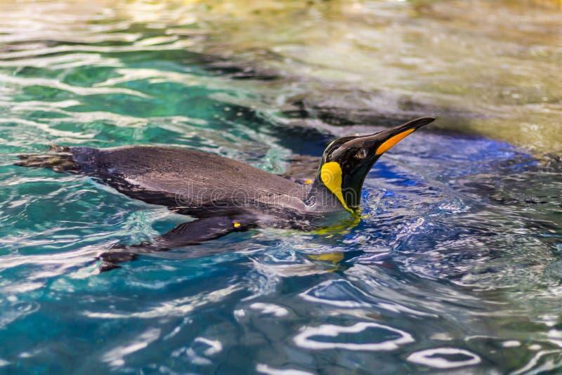 Pingwin pływa 1 zdjęcie stock
