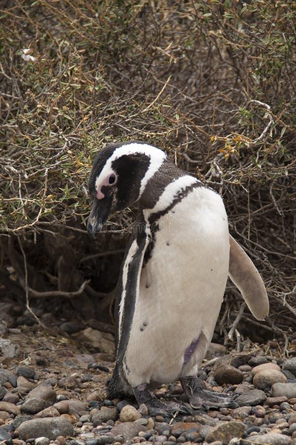 Pingwin przy Punta Tombo, Argentyna fotografia stock