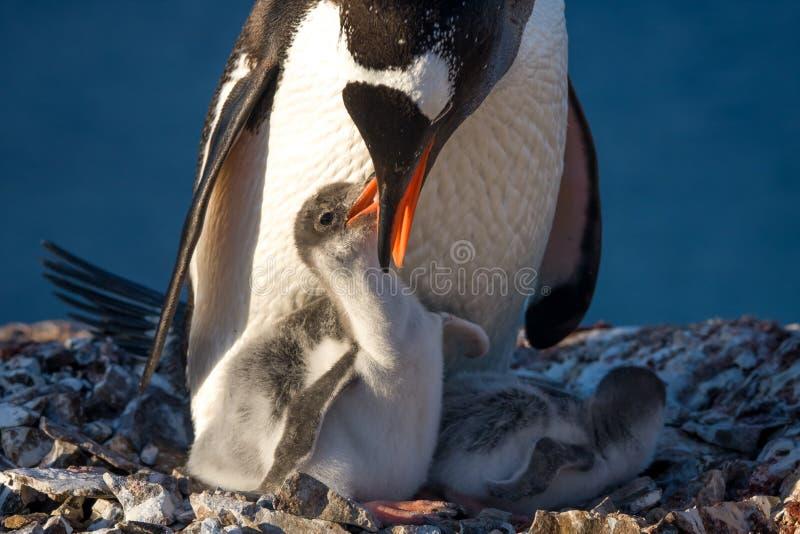 Pingwin rodzina zdjęcia stock