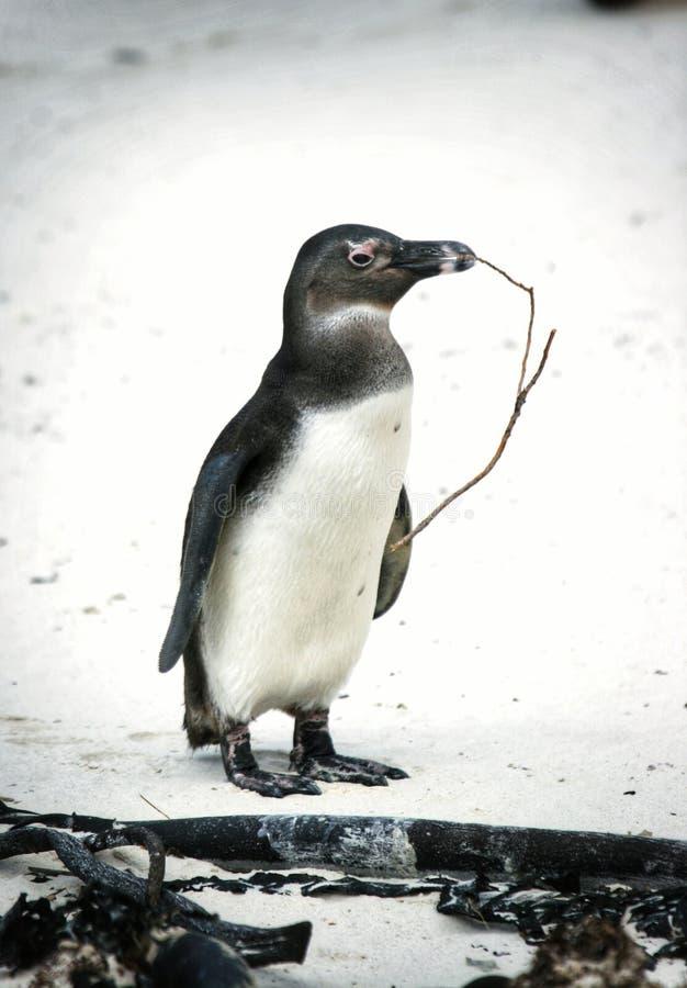 Pingwin szykuje się do budowy gniazda fotografia stock