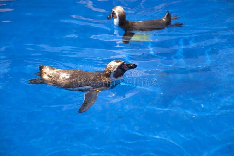 Pingwin w wodzie zdjęcia stock