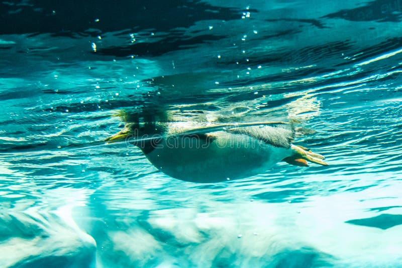 Pingwin w wodzie - pingwin pływa podwodnego strzał zdjęcie royalty free
