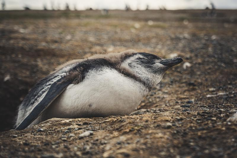 Pingwin wyspa w po?udniowym America zdjęcia royalty free