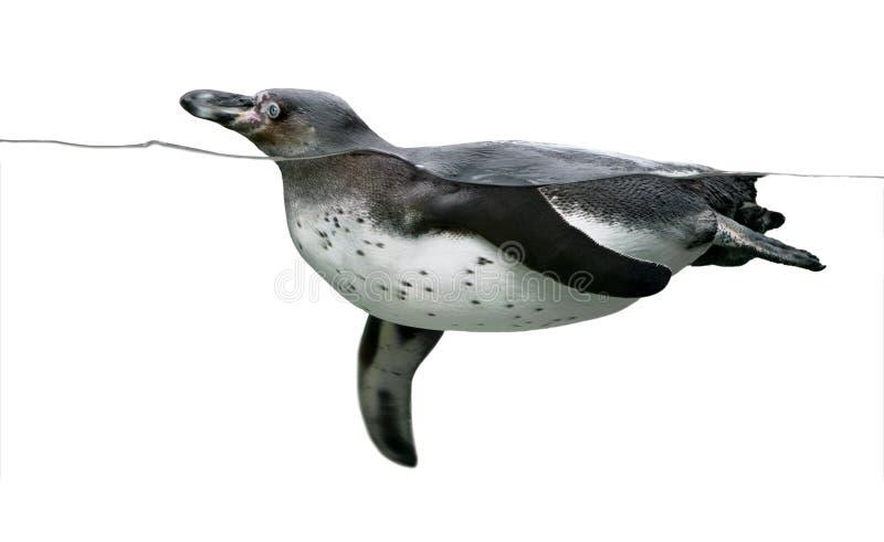 pingwinu dopłynięcie zdjęcie royalty free